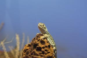 Australia, Alice Springs. Central Netted Dragon by Cindy Miller Hopkins