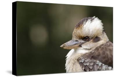 Australia. Dandenong, Grants Reserve. Kingfisher Laughing Kookaburra