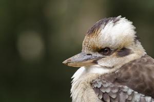 Australia. Dandenong, Grants Reserve. Kingfisher Laughing Kookaburra by Cindy Miller Hopkins