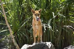 Australia, Northern Territory, Darwin. Territory Wildlife Park. Dingo by Cindy Miller Hopkins