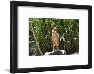 Australia, Northern Territory, Darwin. Territory Wildlife Park. Dingo