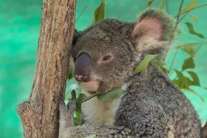 Australia, Queensland, Townsville. Billabong Sanctuary. Koala, Captive by Cindy Miller Hopkins