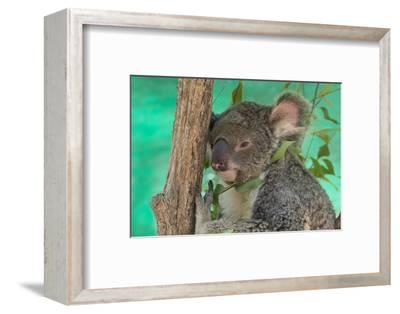 Australia, Queensland, Townsville. Billabong Sanctuary. Koala, Captive