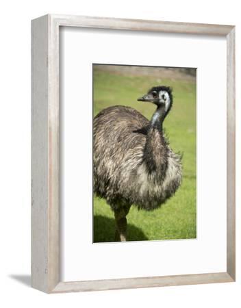 Australia, South Australia, Adelaide. Cleland Wildlife Park. Emu