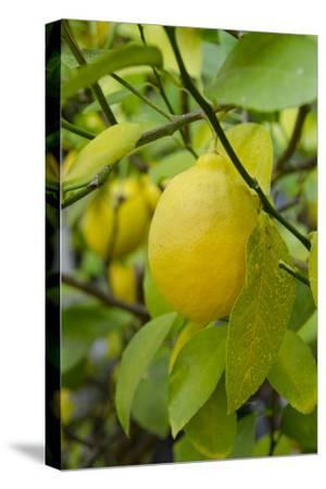 Bright Yellow Lemon on the Tree, California, USA
