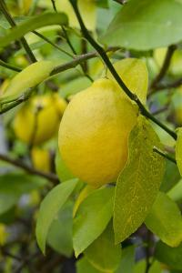 Bright Yellow Lemon on the Tree, California, USA by Cindy Miller Hopkins