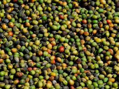 Coffee Beans, Coffee Plantation and Museum, Museo del Cafe, Antigua, Guatemala by Cindy Miller Hopkins