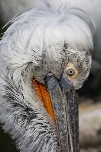 Detail of Pelican Face by Cindy Miller Hopkins