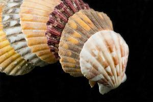 Detail of Seashells from around the World on Black Background by Cindy Miller Hopkins