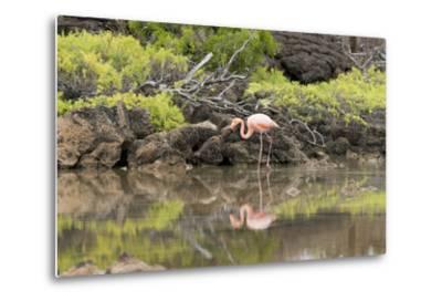 Greater Flamingo in Lagoon, Santa Cruz Island, Galapagos, Ecuador