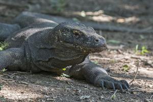 Indonesia, Komodo Island. Komodo NP, UNESCO. Famous Komodo Dragon by Cindy Miller Hopkins