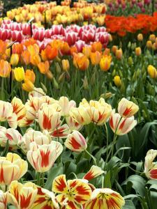 Keukenhof Gardens, Lisse, Netherlands by Cindy Miller Hopkins