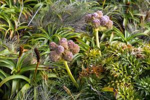 New Zealand, Auckland Islands, Enderby Island. Tropivcal vegetation. by Cindy Miller Hopkins
