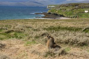 New Zealand, Enderby Island, Sandy Bay. New Zealand sea lion. by Cindy Miller Hopkins