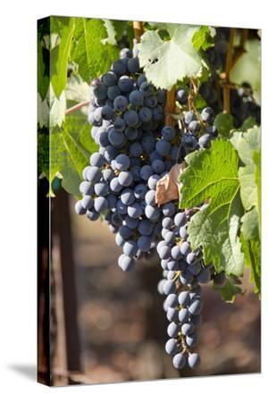 Purple Wine Grapes on the Vine, Napa Valley, California, USA