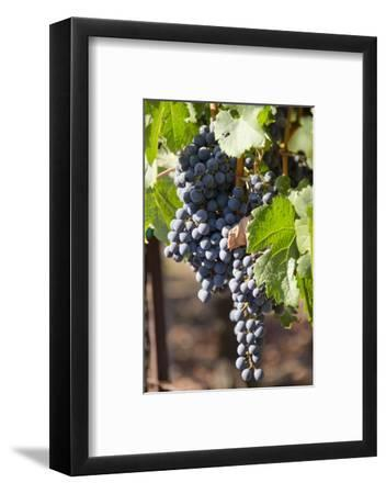 Purple Wine Grapes on the Vine, Napa Valley, California, USA