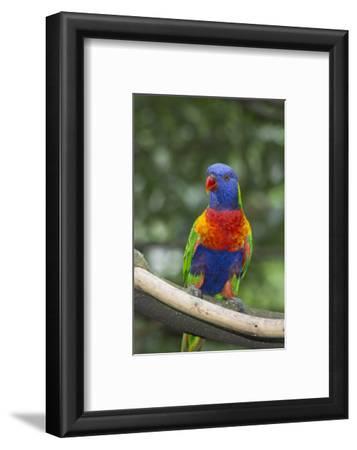 Rainbow Lorikeet Native to Australia