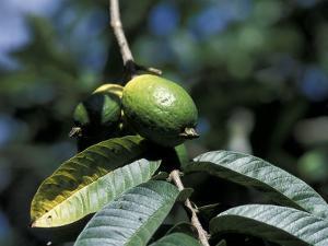 Ripening Guava Fruit, Wilson Botanical Gardens, San Vito, Costa Rica by Cindy Miller Hopkins