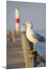 Seagull at the Lake Ontario Pier, Rochester, New York, USA by Cindy Miller Hopkins