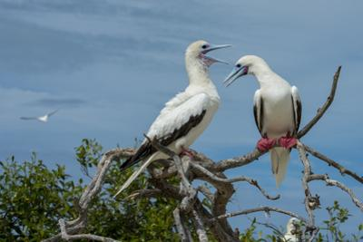 Seychelles, Indian Ocean, Aldabra, Cosmoledo Atoll. Pair of Red-footed boobies. by Cindy Miller Hopkins