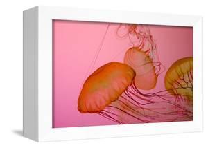 Shedd Aquarium, Jellyfish, NE Pacific Sea Nettle Marine Life, Chicago, Illinois by Cindy Miller Hopkins