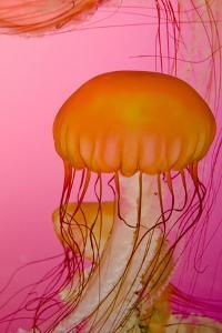 Shedd Aquarium, Jellyfish, NE Pacific Sea Nettle Marine Life, Chicago, Illinois by Cindy Miller Hopkins