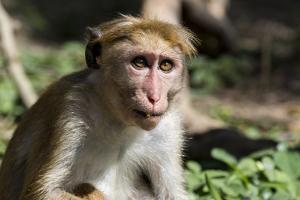 Sri Lanka, Tissamaharama, Ruhuna National Park. Toque macaque. by Cindy Miller Hopkins