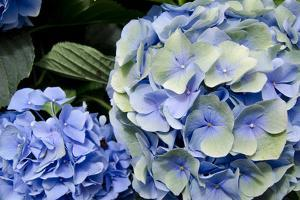 USA, Alabama, Theodore. Hydrangeas at Bellingrath Gardens and Home. by Cindy Miller Hopkins