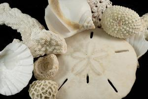 White Seashells, Sand Dollar, and Coral from around the World by Cindy Miller Hopkins