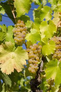 White Wine Grapes on Vine, Napa Valley, California, USA by Cindy Miller Hopkins