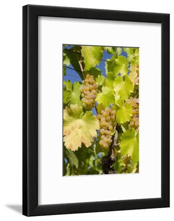 White Wine Grapes on Vine, Napa Valley, California, USA