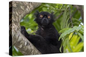 Wild black lemur, male, Eulemur macaco. Madagascar, Nosy Be, Big Island. by Cindy Miller Hopkins