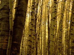 Yellow Aspen Trees on Kebler Pass, Crested Butte, Colorado, USA by Cindy Miller Hopkins