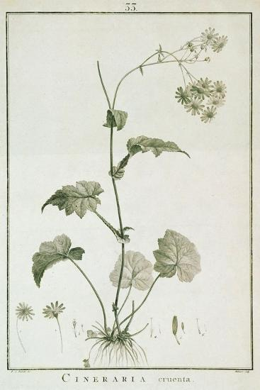 Cineraria Cruenta, from 'Sertum Angelicum', Published 1788-Pierre Joseph Redoute-Giclee Print