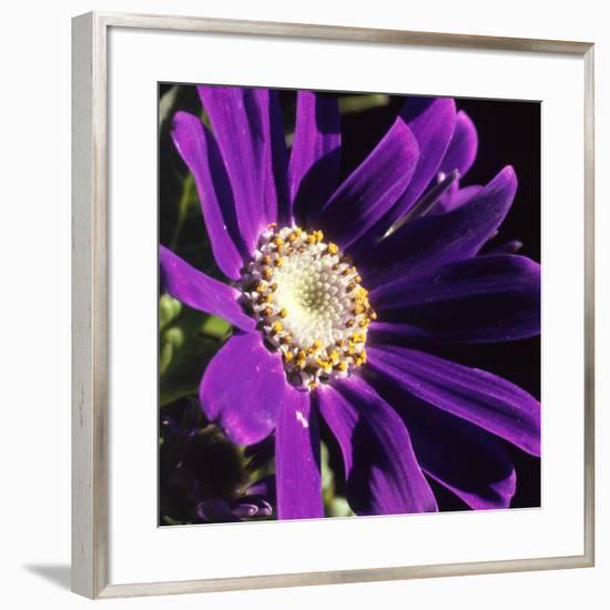 Cineraria, Senecio Hybridus, Oregon-Reynolds Trish-Framed Photographic Print