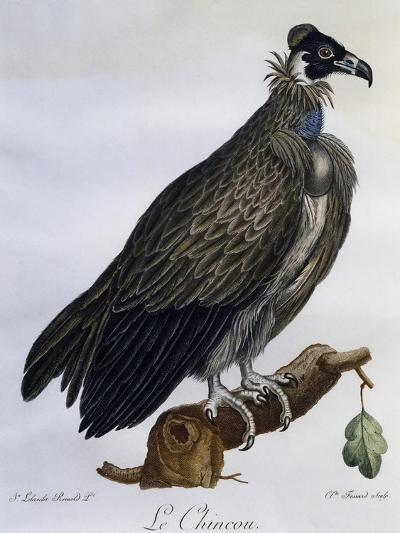 Cinereous Vulture (Aegypius Monachus)--Giclee Print