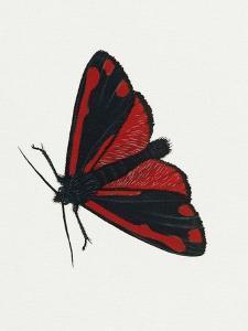 Cinnabar Moth (Tyria Jacobaeae), Arctiidae, Artwork by Rebecca Hardy