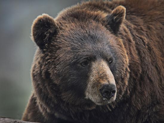 Cinnamon Black Bear. Montana, Usa-Tim Fitzharris-Photographic Print