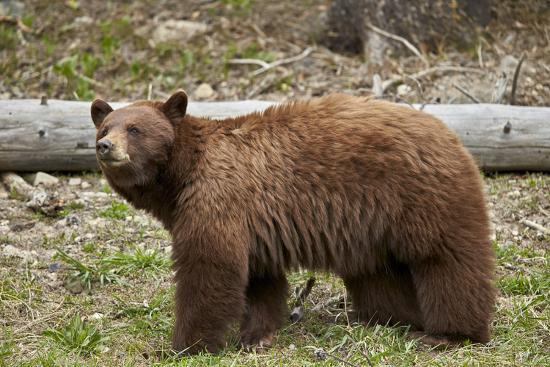 Cinnamon Black Bear (Ursus Americanus), Yellowstone National Park, Wyoming-James Hager-Photographic Print