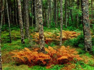 Cinnamon ferns and red spruce trees in autumn, Acadia National Park, Maine, USA