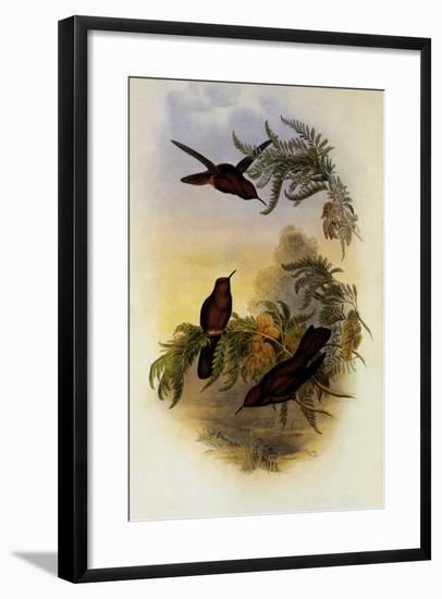 Cinnamon Frie-Crown, Eustephanus Fernandensis-John Gould-Framed Giclee Print