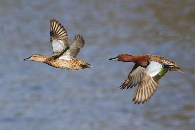 Cinnamon Teal Drake and Hen Flying-Hal Beral-Photographic Print