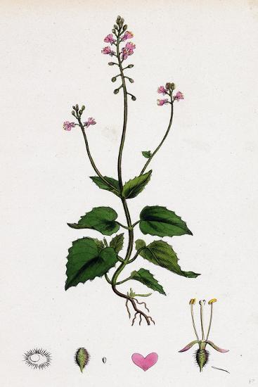 Circaea Alpina Alpine Enchanter'S-Nightshade--Giclee Print