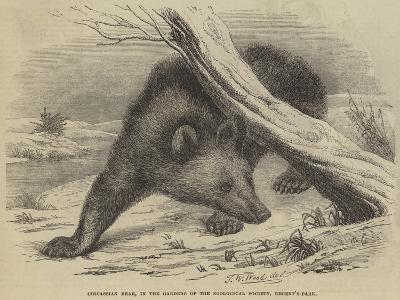Circassian Bear, in the Gardens of the Zoological Society, Regent'S-Park-Thomas W. Wood-Giclee Print