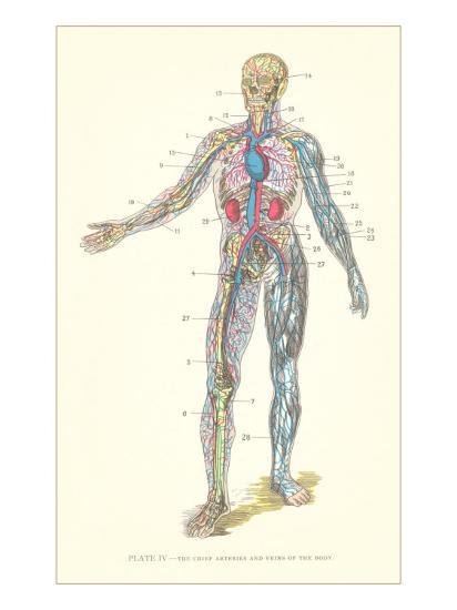 Circulatory System--Art Print