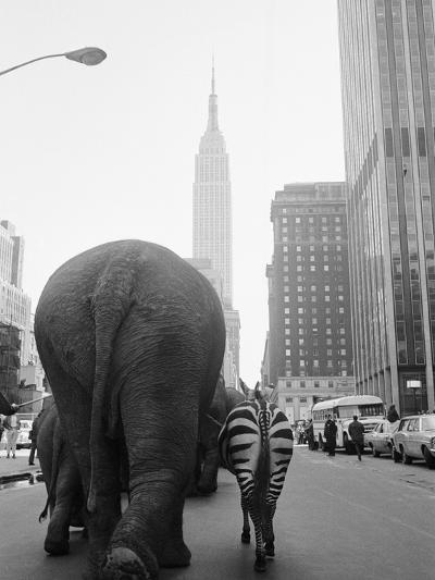 Circus Animals on 33rd Street-Bettmann-Photographic Print