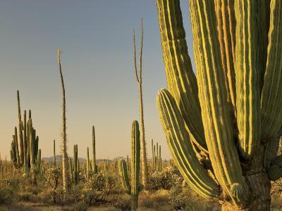 Cirio Trees and Cardon Cacti Near Catavina-Witold Skrypczak-Photographic Print
