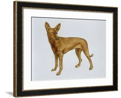 Cirneco Dell'Etna (Canis Lupus), Canidae, Drawing--Framed Giclee Print