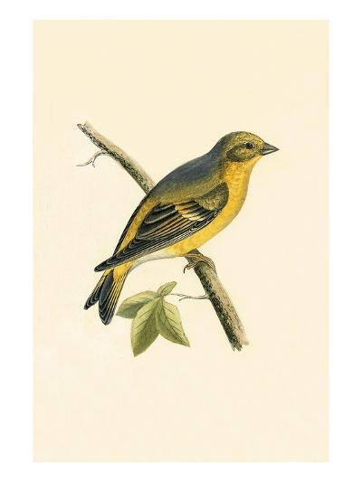 Citril Finch,  from 'A History of the Birds of Europe Not Observed in the British Isles'-English-Giclee Print