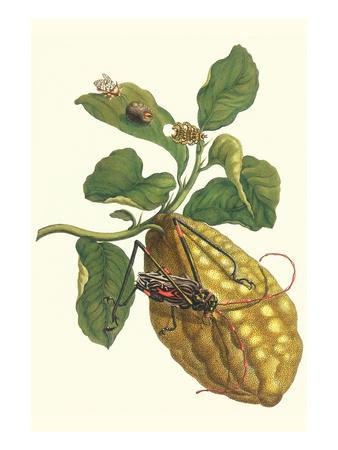 Citron with Monkey Slug and a Harlequin Beetle-Maria Sibylla Merian-Premium Giclee Print